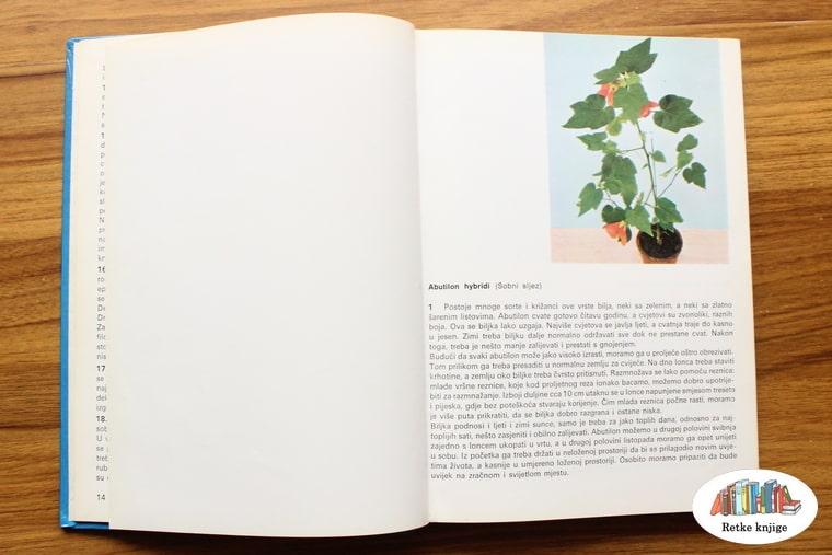 prikaz cveta sobni javor