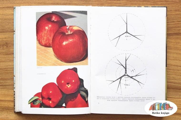 prikaz plodova jabzke i rasporeda grana
