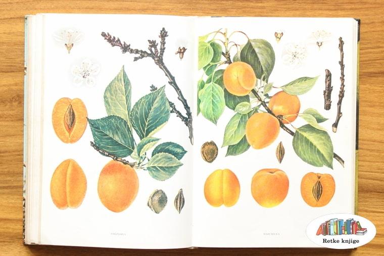 prikaz plodva kajsija