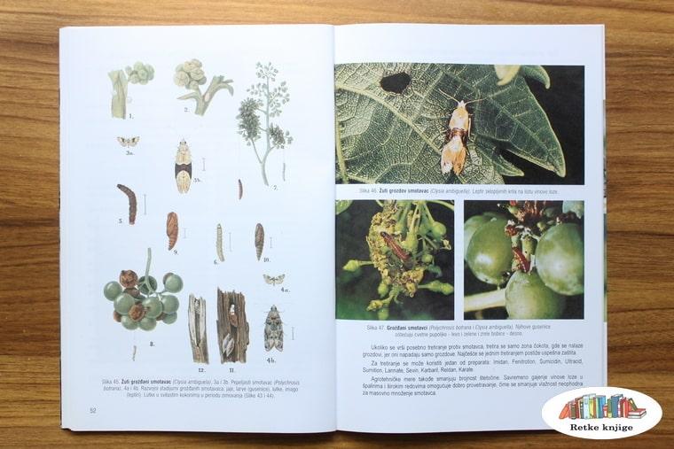 crtež i fotografije žutoga moljca